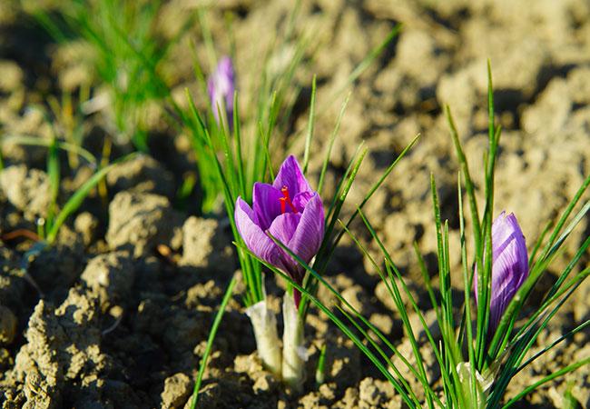 fiore di zafferano cosenza calabria sorelle licursi